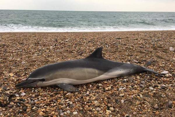 common-dolphin-credit-frazer-hodgkins-csip